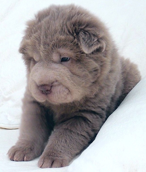 Bear-coat Shar-Pei puppy